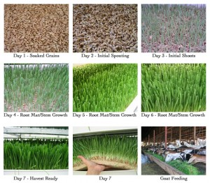 Daily output 60kg/layer barley fodder system