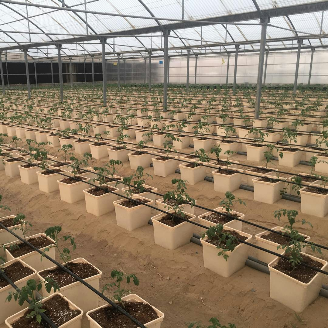 Dutch Bucket Commercial Planting