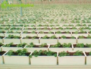 12.3L hydroponic dutch bato bucket for tomatoes